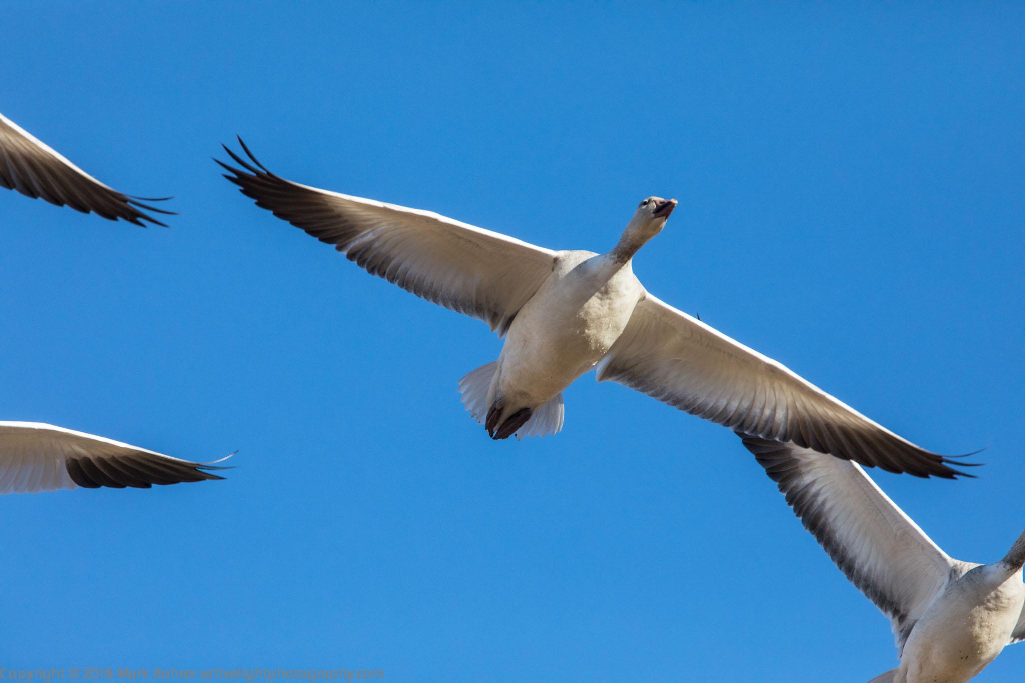 Goose overhead flight