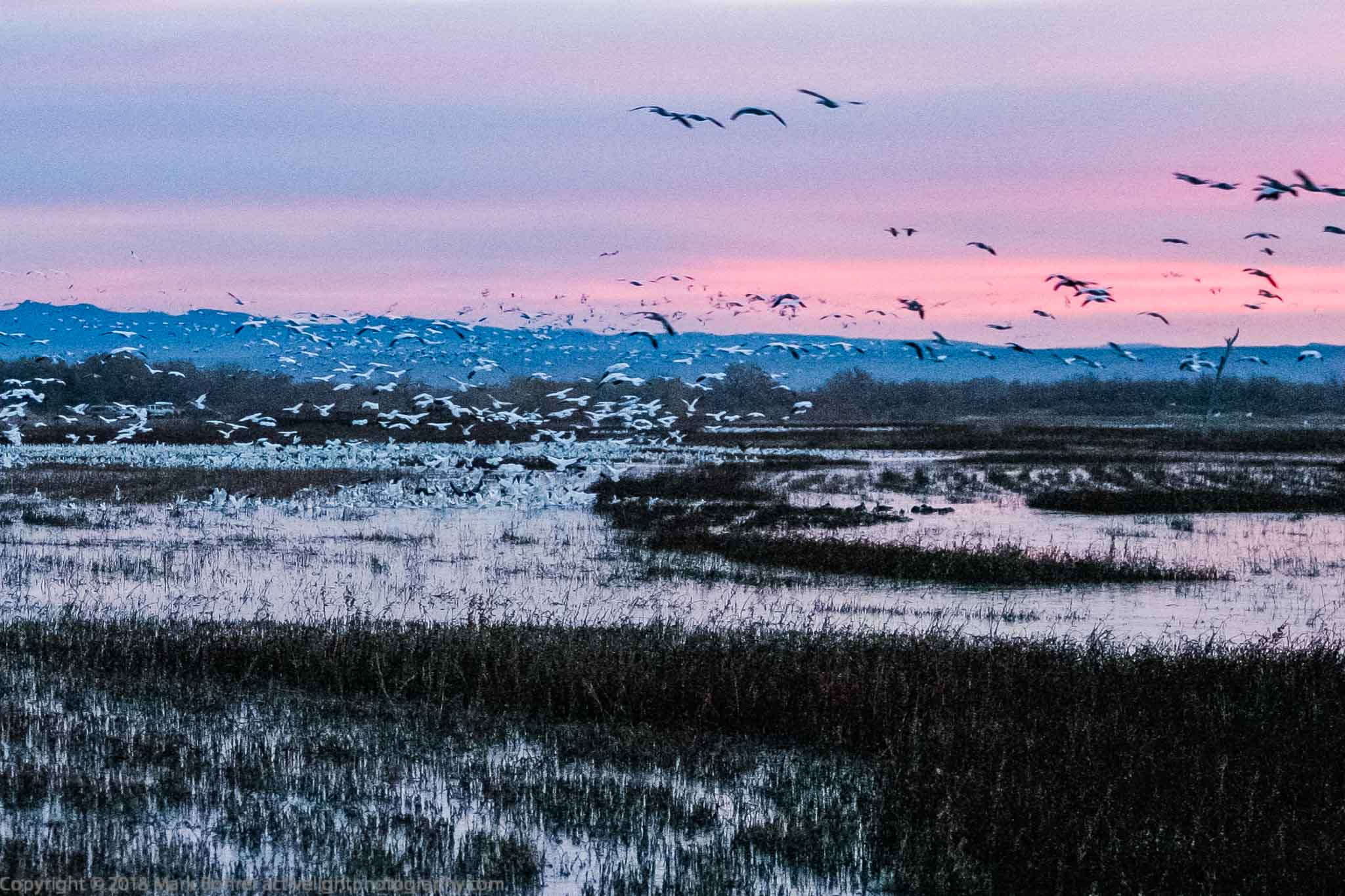 2003 snow goose sunrise liftoff, Bosque del Apache