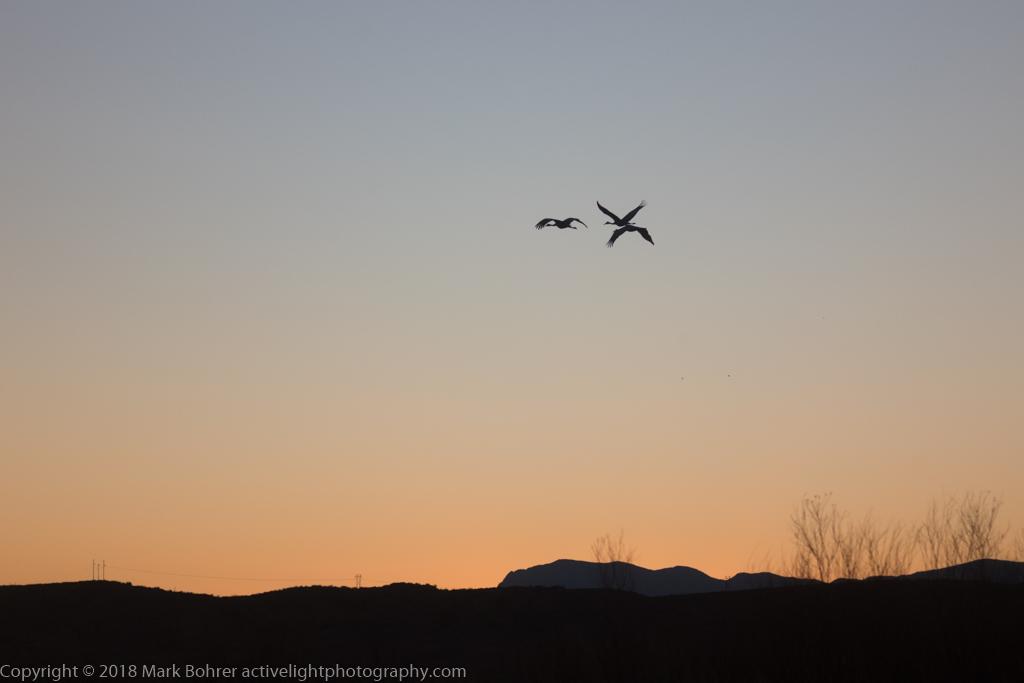 Sandhill cranes after hours