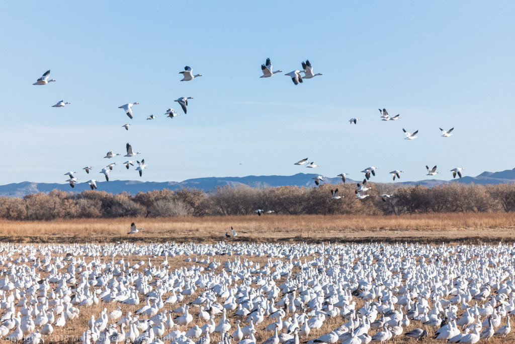 Snow geese - on the ground and in the air