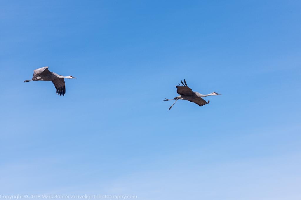 Sandhill cranes in flight, Bosque del Apache