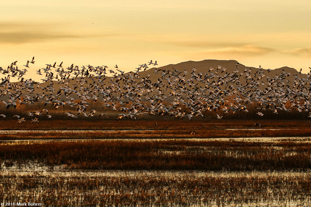 Snow goose dawn liftoff,  Bosque Del Apache NWR, New Mexico