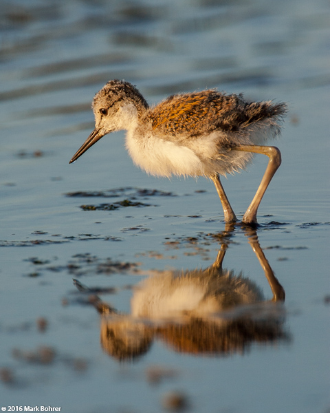 Black-necked stilt chick, Palo Alto Baylands