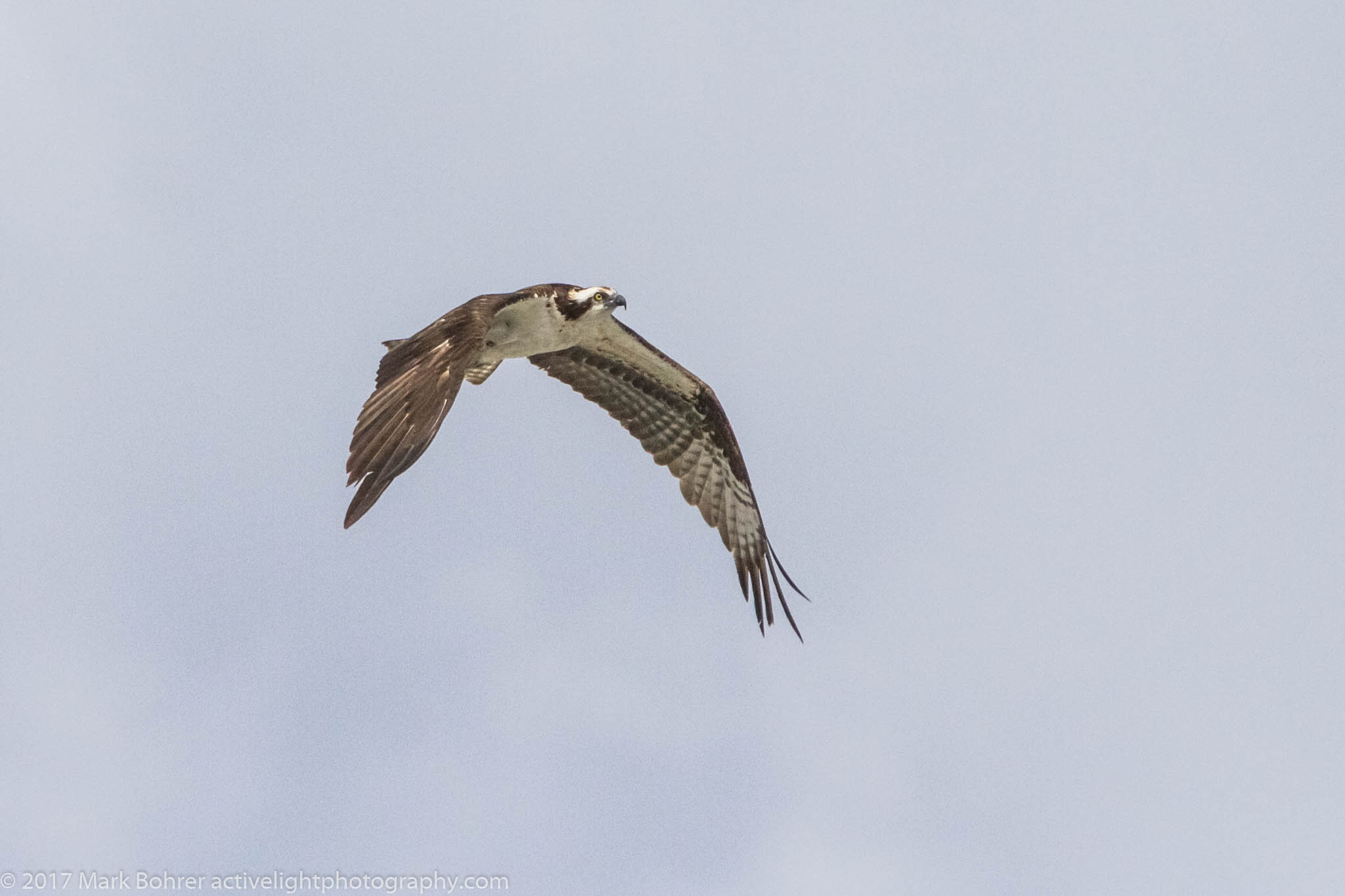Osprey above Flaming Gorge Dam