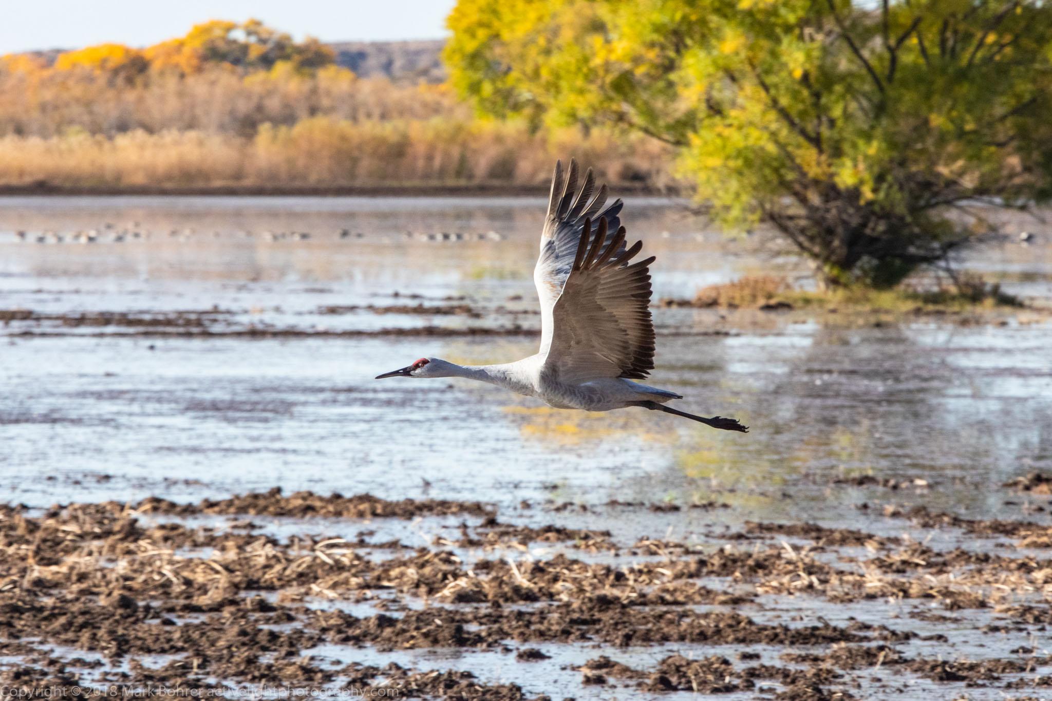 Crane flight over the marsh