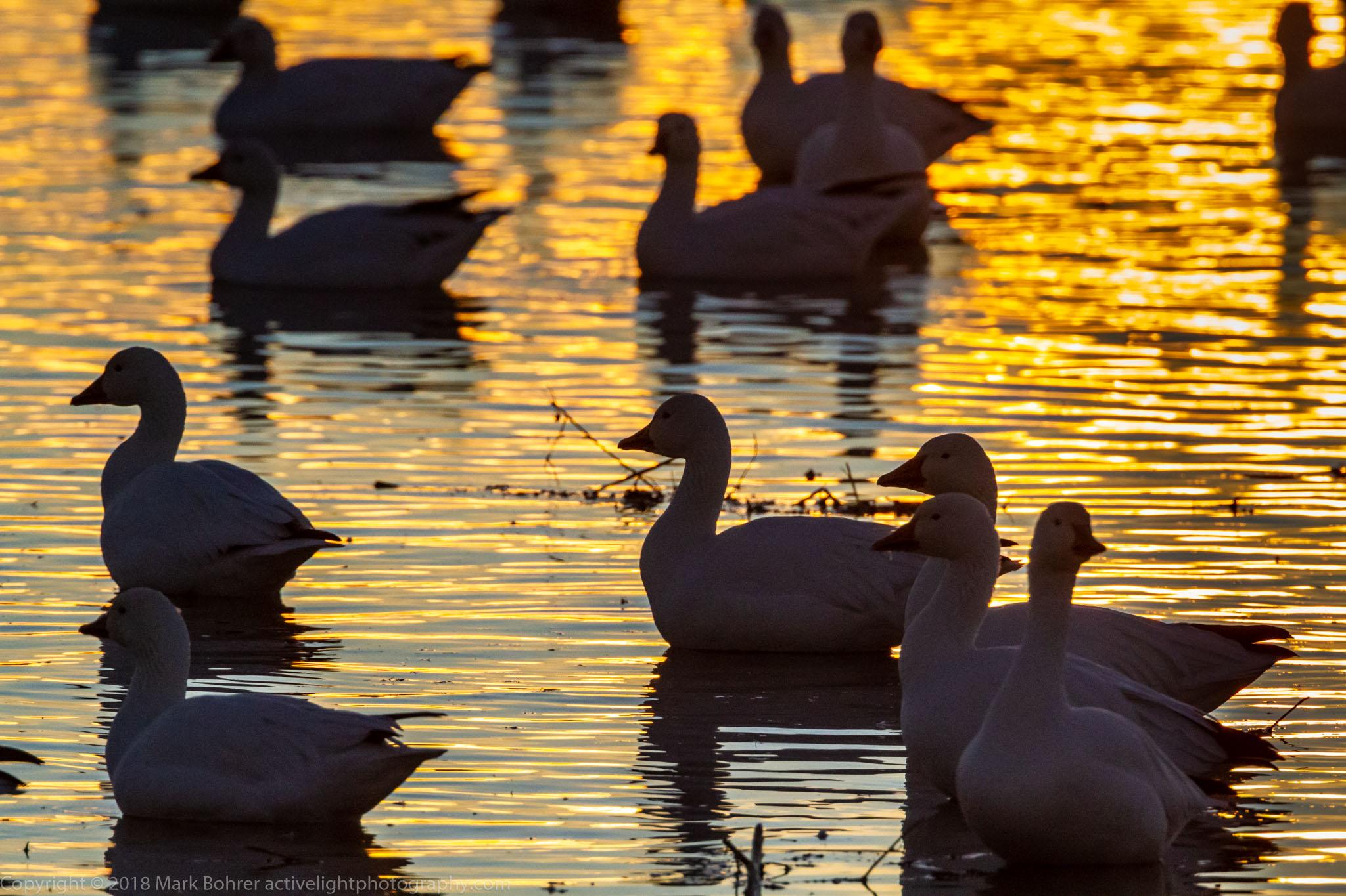 Golden goose silhouettes