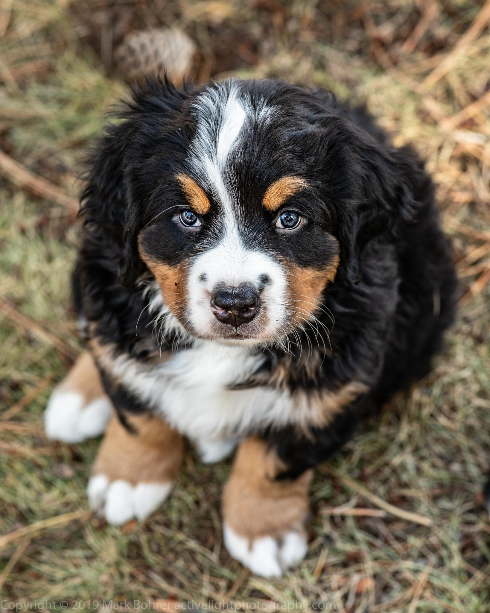 Berner pup actually holding still for a nanosecond - with flash fill in shade outdoors