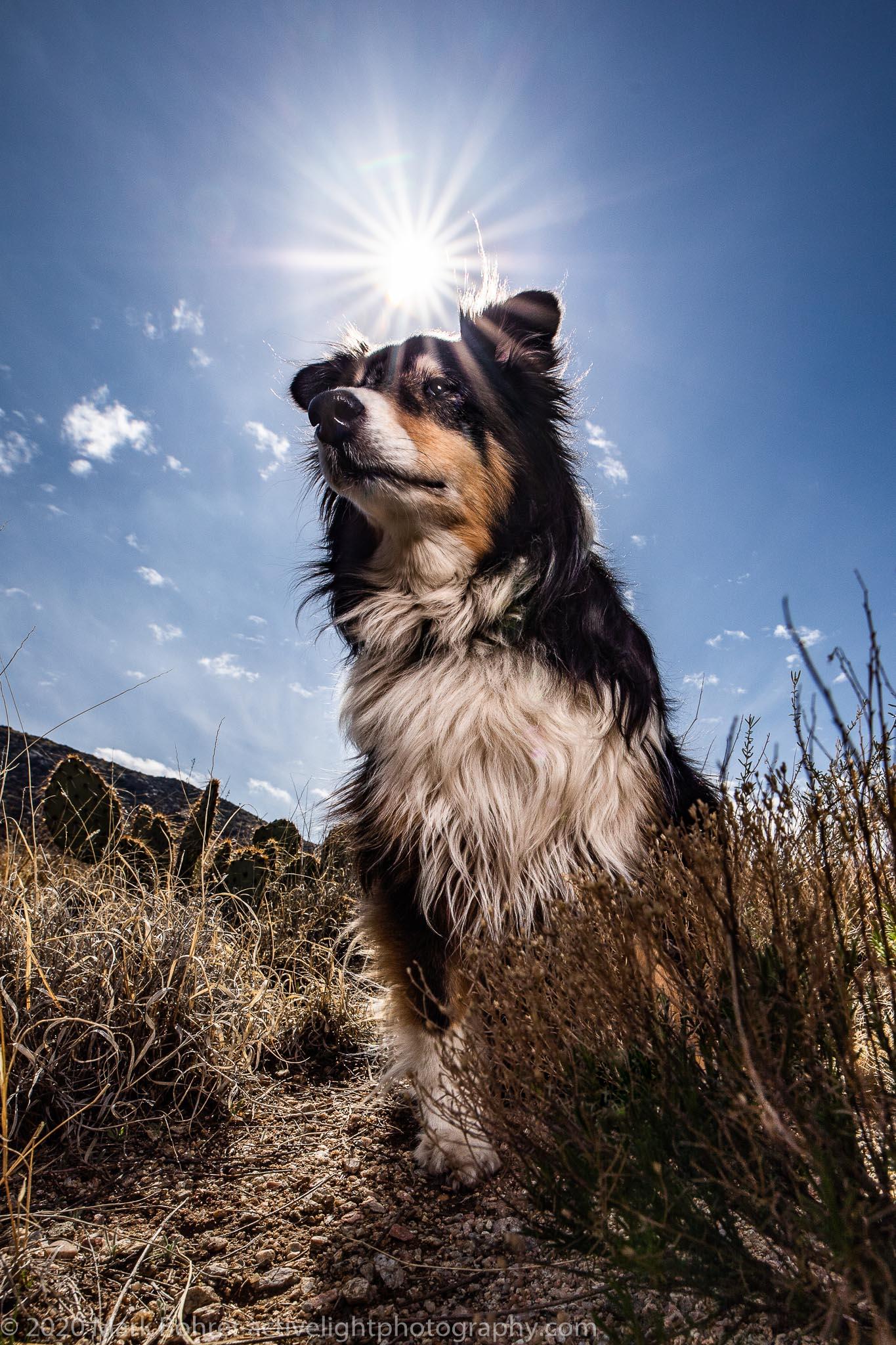 Hero Sheltie Buzz - Dog portrait